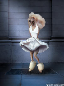 Picture of poodle dressed up like Marilyn Monroe