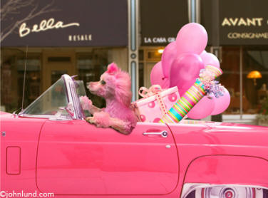 picture of a pink poodle driving a pink car