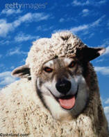 stock picture of a wolf in sheeps clothing