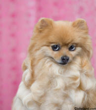 Adorable cute puppy picture of a pomeranian puppy - animal antics stock photo