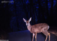 Picture of deer in the headlights - a stock photo