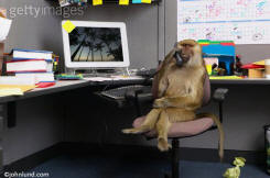 Monkey or Baboon sitting in office at computer