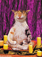 Zen Cat - Animal Antics picture of a cat doing yoga