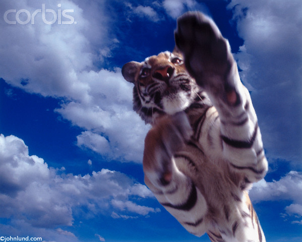 Picture of a jumping tiger leaping through the air with the camera directly below the tiger looking up at his chest.