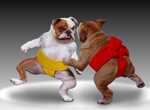 Two bulldogs engage in a sumo wrestling match in a funny dog picture created for use in greeting cards, advertising, editorials and social media.