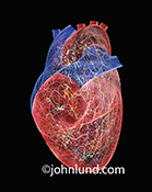 An active human heart stock photo shows energy and electrical patterns on a human heart portrayed in the form of light trails on a black background.