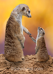 A baby meerkat reaches out to his parent in a heartwarming greeting card and stock photo image.