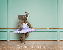 An elephant pauses while training for Ballet in this humorous stock photo about possibilities and the unexpected.