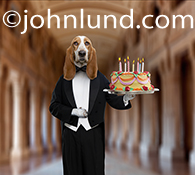 In this funny greeting birthday greeting card image a Basset Hound is dressed as a butler and holds a silver tray with a birthday cake and lighted candles as he stands in a great hall.