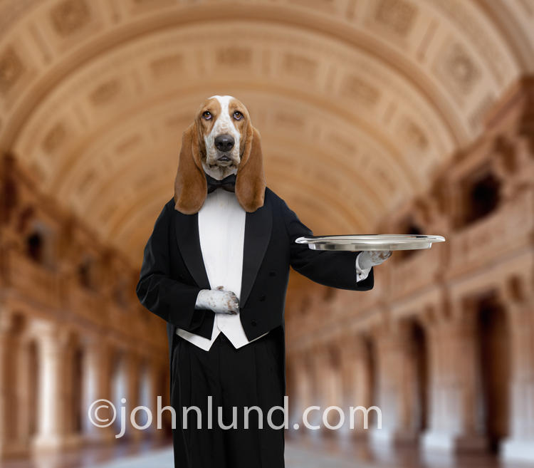 A Basset Hound poses as a butler holding a tray and standing in a vast grand hall in this funny dog photo about service and loyalty.