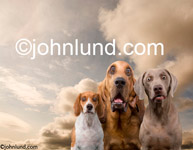 Pictures of dogs in funny situations; three dogs look at the viewer with expressions of wonder and curiosity.  Beagle, a Wiemaraner, and a Bloodhound with a look of Amazment on their faces.