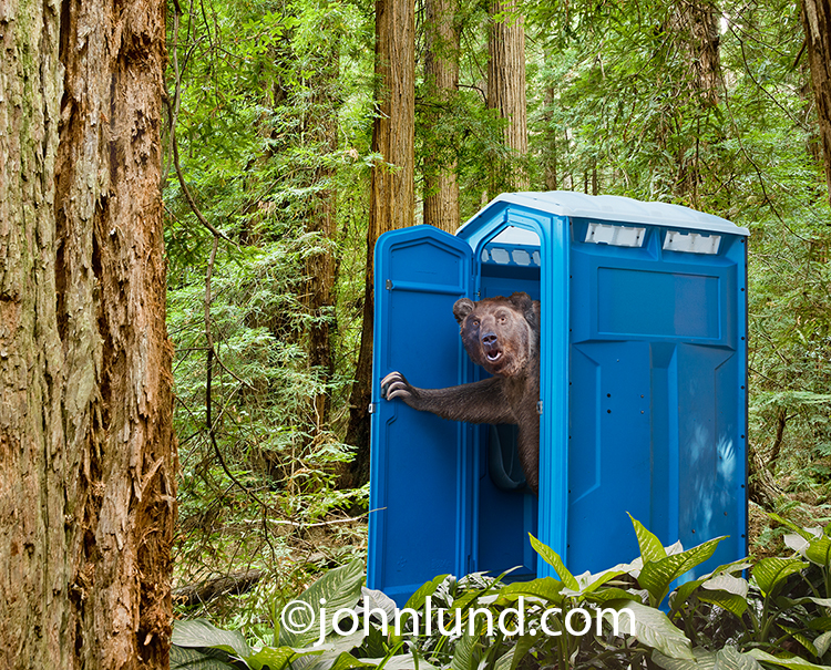 A bear wears a shocked expression as he looks out of the porta potty or outhouse that he has just been using in the woods in a humorous greeting card image.