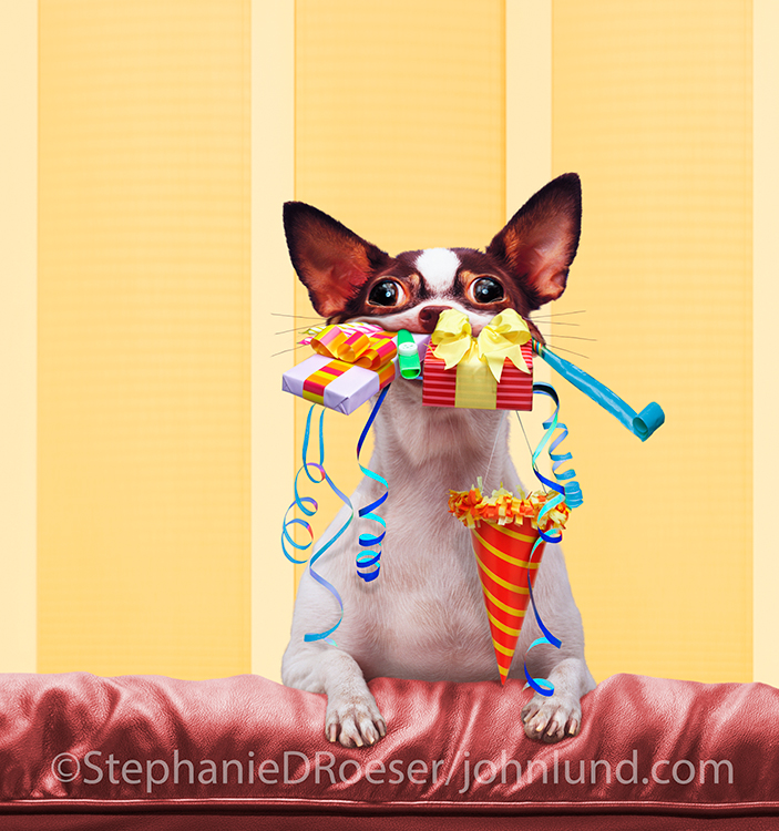 An eager Chihuahua perches on the back of a couch with his mouth impossibly full of birthday gifts in a humorous pet photo for greeting cards and other uses.