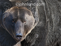 A huge, menacing black bear makes eye contact with the viewer staring directly into the camera lens in this startling image made for illustrating down financial markets.