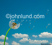 Stock photo of wind blowing the seeds from a dandelion through a blue sky with a few puffy white clouds in the distance, illustrating wishes. Dandelion seeds picture.