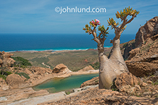 A bottle tree brings forth a single pink bloom near a water hole on the coast of Socotra Island in the Homhil protected area.