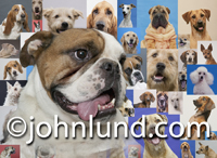 Picture of dogs and lots of them. This photo is a composite of over twenty-five different dogs of various breeds, but featuring an English Bulldog.