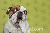 Bulldog remembering; The English Bulldog in this funny anthropomorphic dog photo is trying to remember something as he looks up questioningly with his paw to his mouth.