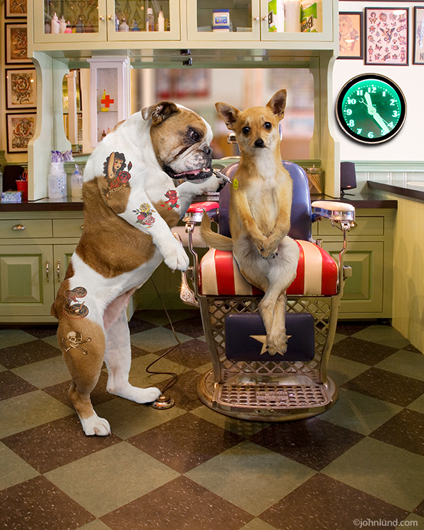Funny animal and stock picture of a bulldog giving a Chihuahua a tattoo in a Tattoo parlor. Hysterical!