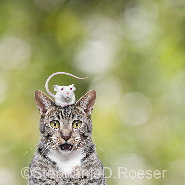 A mouse sits on a cat's head and both were a humorous expression of surprise in this hilarious stock photo and greeting card image.
