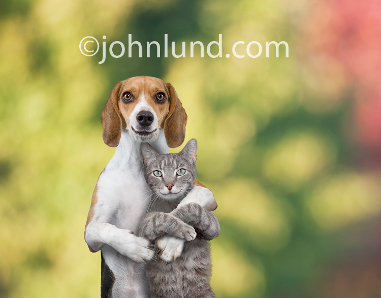 A dog (Beagle) and his girlfriend, a cat, embrace in front of a background of out of focus fall trees.