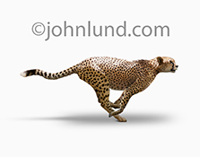 A cheetah is sprinting across a white background in this stock photo about the concept of speed and quickness.