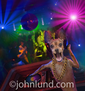 A funny Chihuahua DJing at a disco night club while people dance under the strobe lights and disco ball in the background.