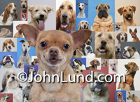 Portrait of a happy Chihuahua superimposed over a background of multiple portraits of various dog breed including bloodhounds, Ridgebacks, Basset Hounds, Jack Russel Terriers, Daschunds, Golden Retrievers, Weimeraners, Whippets, Bulldogs and more.