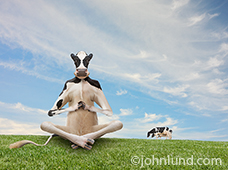In this funny cow picture, a happy Holstein is in a meditation pose indicating contentment and relaxation on a pleasant summer day. In the background two other cows graze on the green grass.