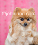 Stock image of a Pomeranian dog with a coy expression in a funny pet and dog photo with a pink wallpaper background. Adorable Pet Picture.