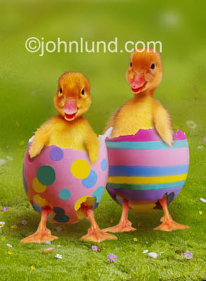 Cute funny animal and stock photo of ducklings wearing  boken egg shells. Two cute little baby ducklings still partially in their shells have just hatched from decorated easter eggs.