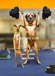 Funny animal stock photo of two weight lifting dogs working out in the Gym.  A Whippet and a Mastiff working out together in the weight room.
