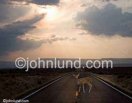 Concept stock photo of a deer (young fawn) in the headlights at dusk on a desolate country road illustrating fear and inaction in the face of change. Picture of deer in the headlights.