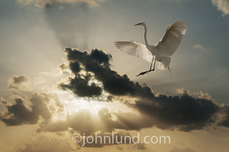 An Egret descends on outstretched wings against a dramatic sunset of God Ray clouds in an image about beauty, nature and elegance.