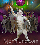 A disco dancing Disco Fever Dancing Anthropomorphic Cat cat, in a night club, strikes a pose on the dance floor in a humorous stock photo and greeting card image featuring a whole pack of party pets!