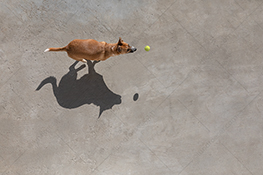 A dog is chasing a green tennis ball in this stock photo about a vital, happy and healthy pet.