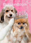 A dog places a tiara on a Pomerainian's head in this funny animal picture. Two cute adorable dogs, one a mutt and the other a beautiful Pomeranian wearing a Tiara.
