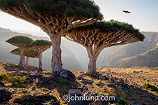 A grove of Dragon Blood trees at sunrise on Socotra with an eagle soaring in the distance in an adventure travel photograph.