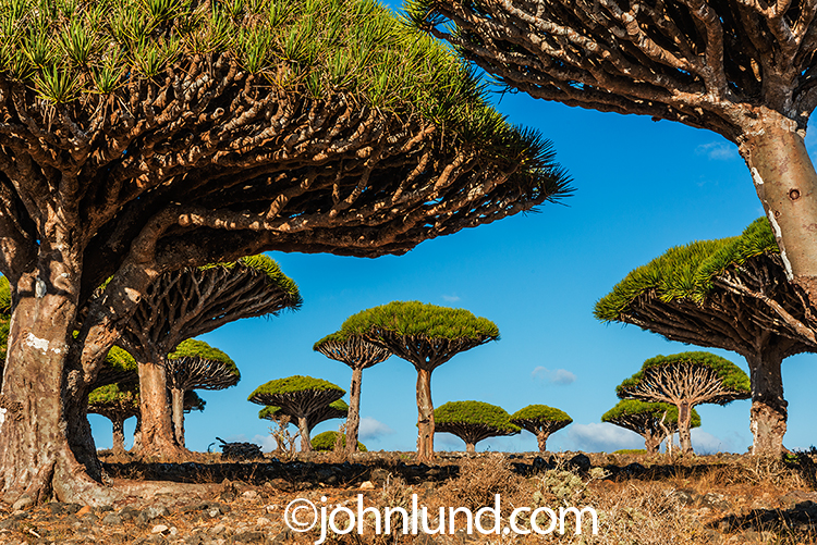 A grove of Dragon Blood trees spread out across the rock terrain of the island of Socotra off the coast of Yemen.