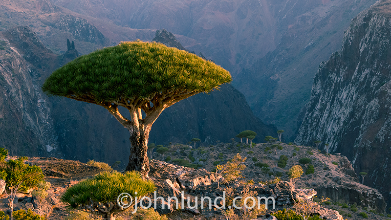 A Dragon Blood tree is illuminated by the morning sun against a deep gorge on the Yemeni island of Socotra in the Indian Ocean.