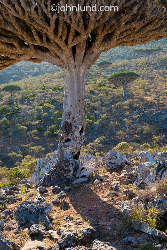 A Dragon Blood tree of Socotra in front of a distant valley.