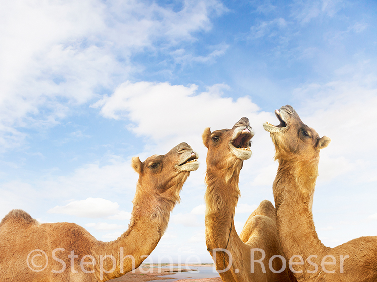 Three dromedary camels put their heads together to join in song in this humorous camel stock photo shot at the Pushkar Camel Festival in India.