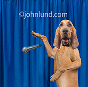 A funny anthropomorphic Bloodhound drops the mic in a humorous stock photo and greeting card image.