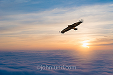 An Eagle flies high above a sunset cloudscape in an image about freedom and success.