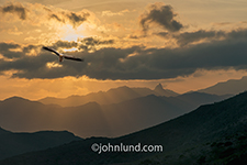 An Egyptian vulture soars over Socotra Island at sunset in an adventure travel photo.