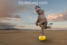 Photo of a skilled elephant balancing on a yellow ball with one leg upraised in a demonstration of the unexpected, talent, and possibilities.