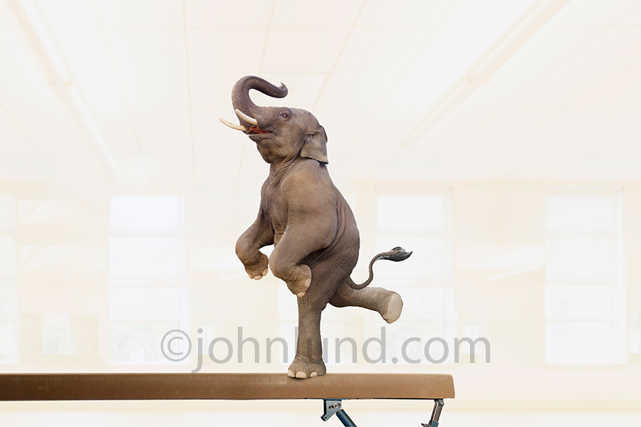 Elephant on a balance beam: In this funny elephant stock photo an elephant shows unexpected agility and skill as he performs on a balance beam.
