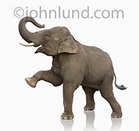 An elephant lifts one foot into the air as he stands on a white background, one of over 100 elephant concept stock images in our collection.
