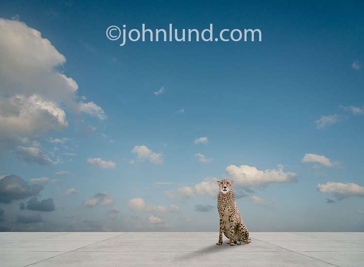 A concerned looking Cheetah sits on a vast concrete expanse in an image about habitat loss and environmental change and other man-made threats to the species and to wild life as a whole.