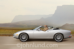 This is one fast cat, a cheetah driving a convertible Jaguar with a smug smile on his happy face!